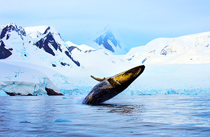 Antarctic Whale Encounters