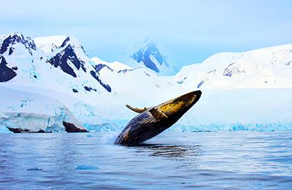 Humpback whale breaching in Antarctica