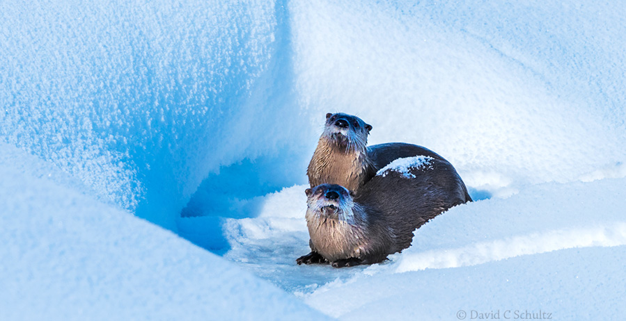 River otters in Yellowstone National Park, Wyoming photographed during the Yellowstone winter photography tour