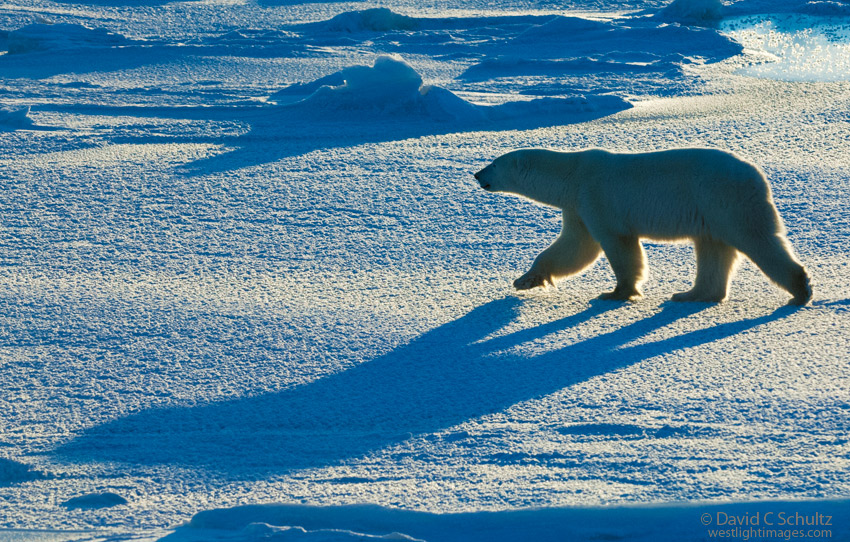 Polar bear on sea ice on the Hudson Bay near the Wapusk National park