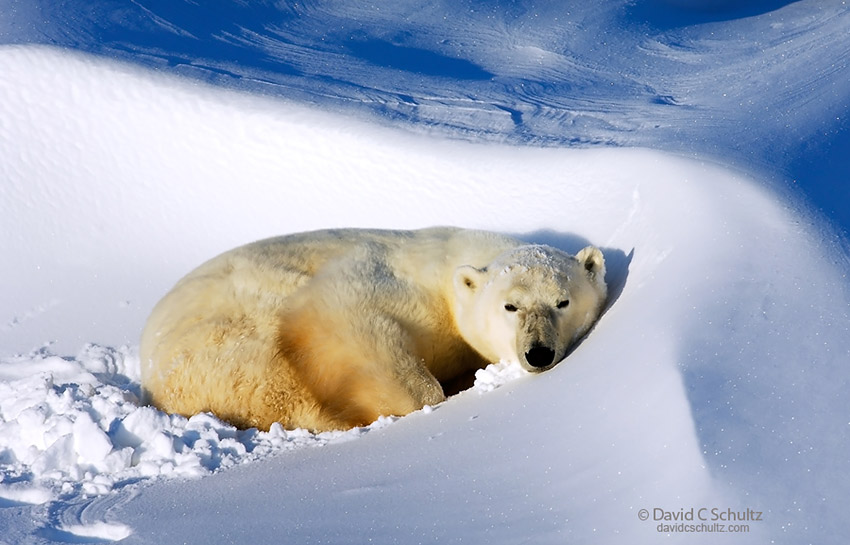 Polar bear resting in the Wapusk National Park, Canada