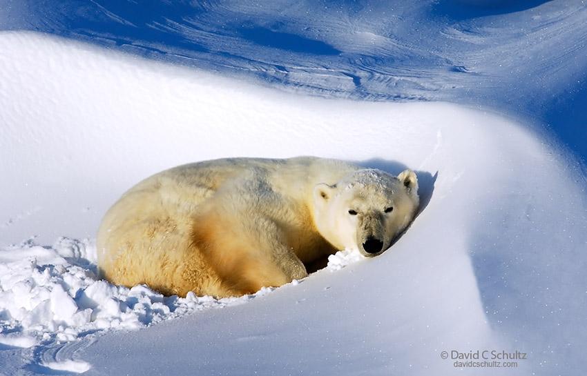 Polar bear resting in the Wapusk National Park, Canada