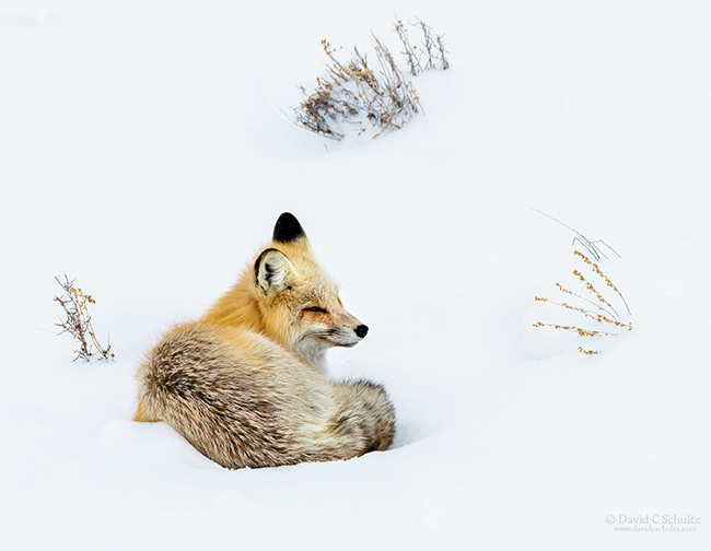 Yellowstone National Park winter photography tour. Red fox in snow.