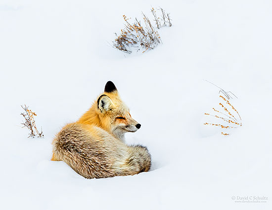 A red fox resting in the snow in Yellowstone National Park.