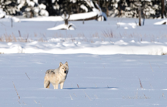 wolf from the wapiti lake pack during our yellowstone photo tours