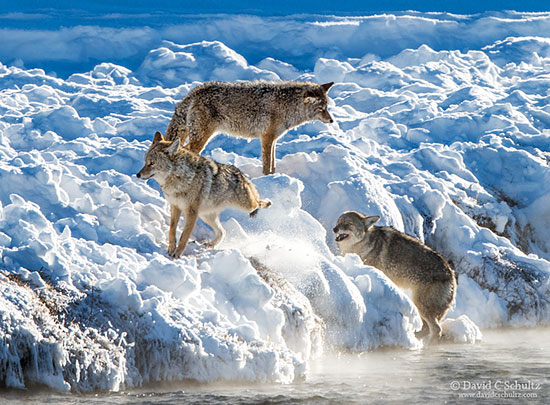 Coyotes during the winter in Yellowstone National Park photographed during my photography tour.