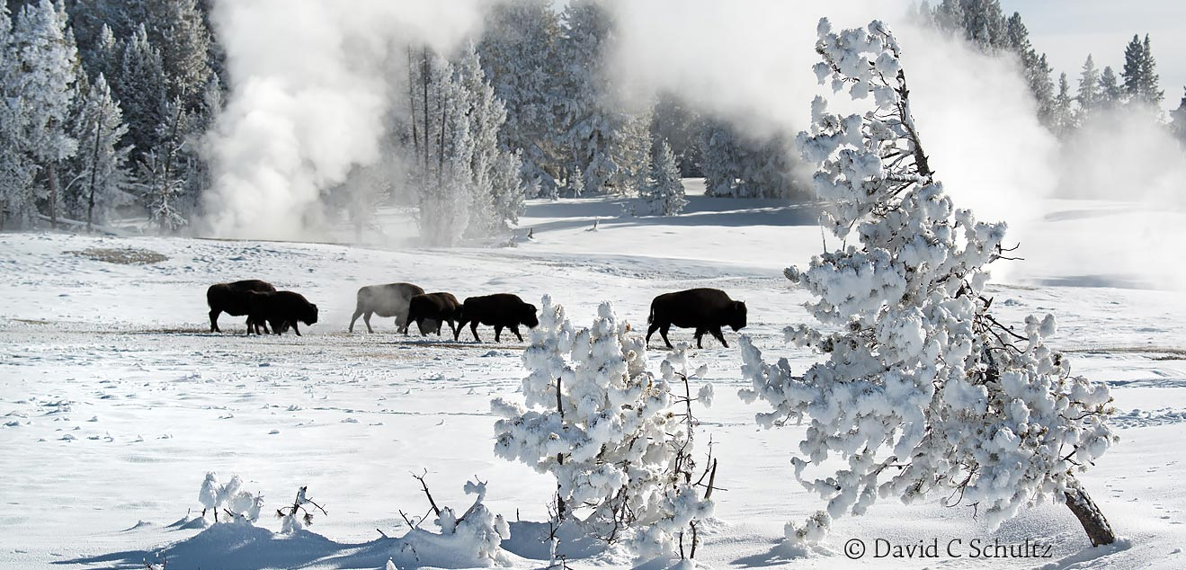 Bison during our Winter in Yellowstone Photography Tour