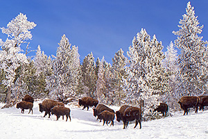 Winter in Yellowstone National Park Photo Workshop 2016