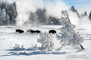 bison and winter in yellowstone photo tour