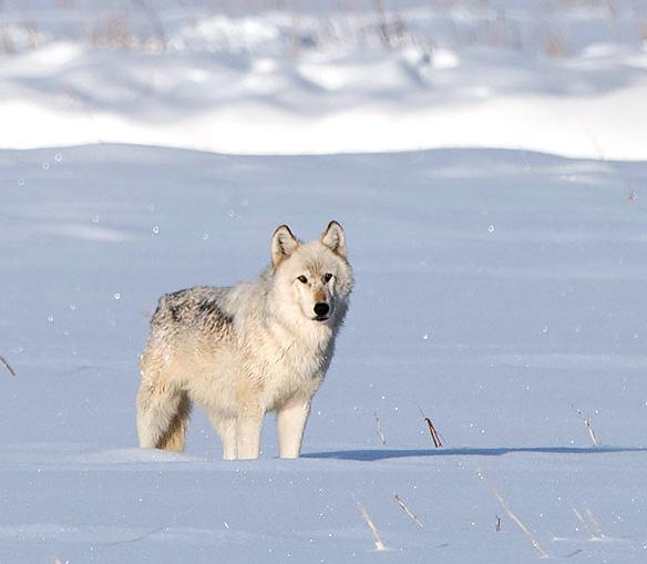 Wapiti Lake wolf in Yellowstone