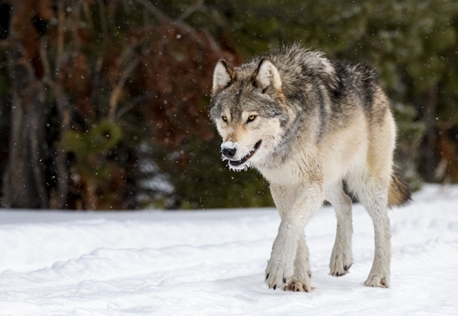 Wolf photographed during a winter in Yellowstone photography tour with David C Schultz