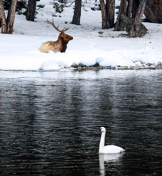 Bull elk and trumpeter swan in Yellowstone National Park.