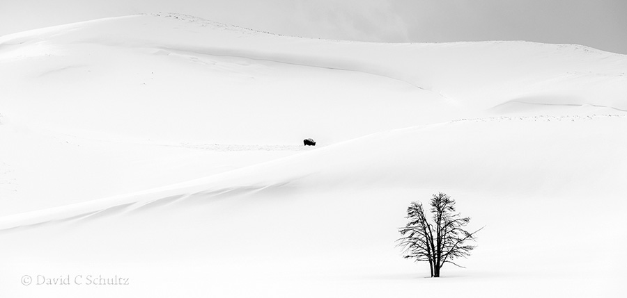 Winter landscapes in Yellowstone with a bison in Hayden Valley